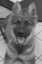 couleurs de l'altdeutscher schaferhund