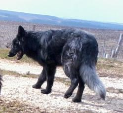 altdeutsche schaferhunde noir smoke