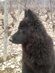 altdeutsche schaferhund noir.