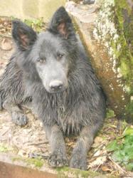 altdeutsche schaferhunde bleu