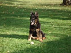 altdeutsche schaferhunde noir et feu