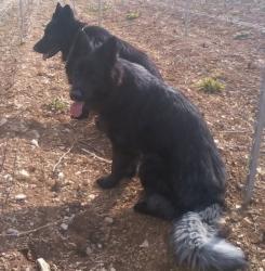altdeutsche schaferhund noir smoke