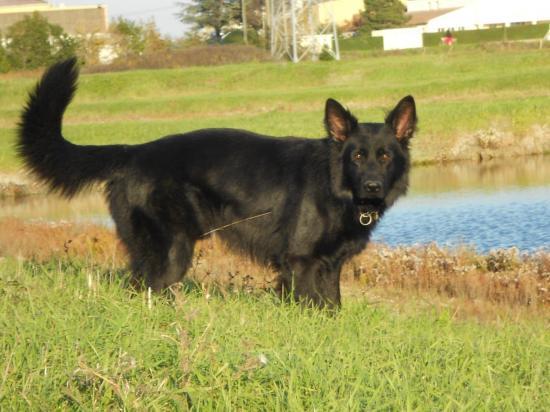 altdeutsche schaferhunde noir