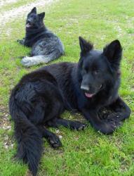 altdeutscher schaferhund black smoke et noir