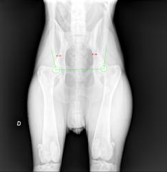 dysplasie de la hanche chien